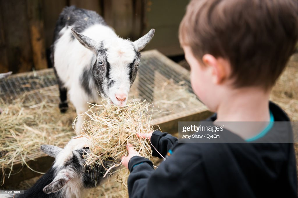 Close-Up Of Boy Feeding Goats : Stock Photo