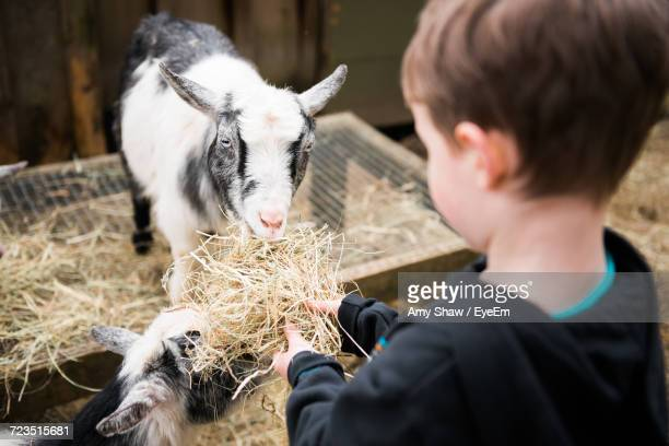 close-up of boy feeding goats - feeding stock pictures, royalty-free photos & images