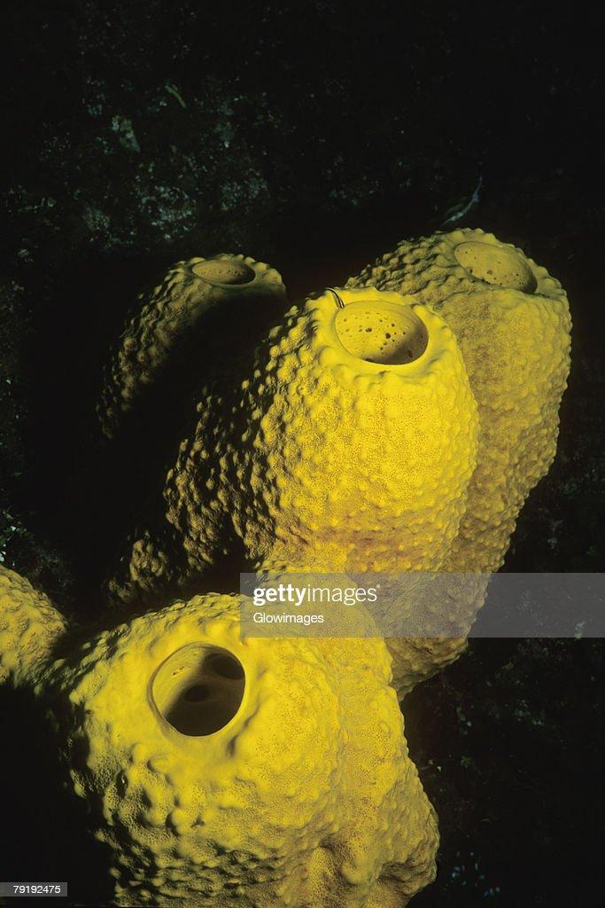 Close-up of Branching Tube Sponge (Pseudoceratina crassa) underwater, Cayman Islands, West Indies : Foto de stock