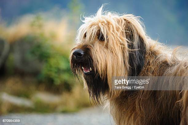 close-up of briard looking away - briard stock photos and pictures