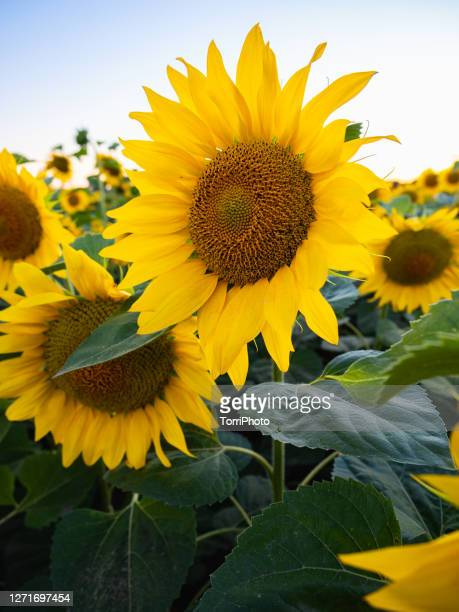 close-up of bright blooming sunflowers - sunflower stock pictures, royalty-free photos & images