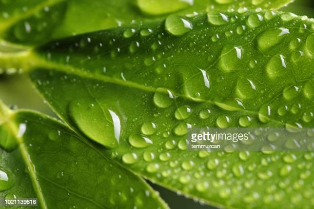 close-up van helder groene blad met waterdruppeltjes - nat stockfoto's en -beelden