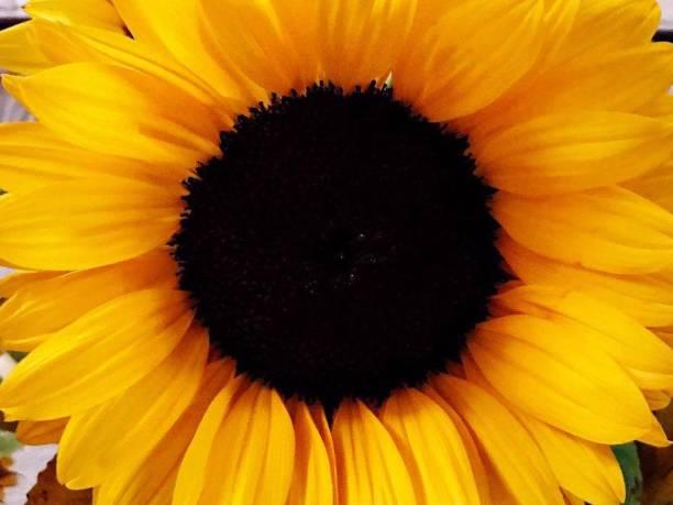 Close-up of bright yellow sunflower