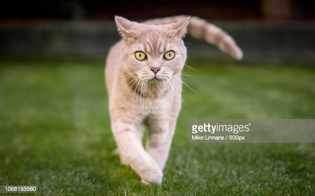 close-up of british short hair cat - one animal stock photos and pictures