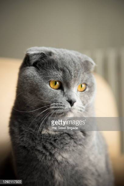 close-up of british shorthair cat looking away - british shorthair cat stock pictures, royalty-free photos & images
