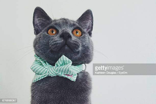 Close-Up Of British Shorthair Cat Wearing Tied Bow Looking Up Against White Background