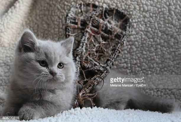 Close-Up Of British Shorthair Kitten With Snow Shoes