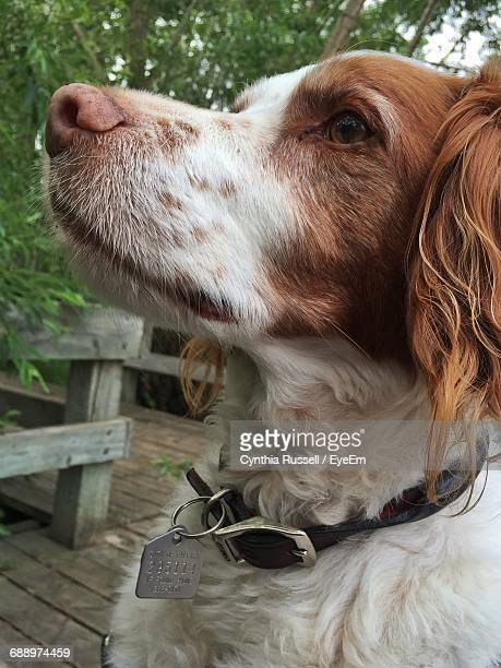 close-up of brittany spaniel - brittany spaniel stock pictures, royalty-free photos & images