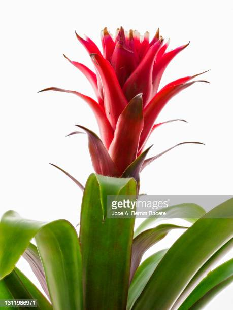 close-up of bromeliad, aechmea fasciata, house plant, in a flowerpot on a white background cut-out. - bromeliaceae stock pictures, royalty-free photos & images