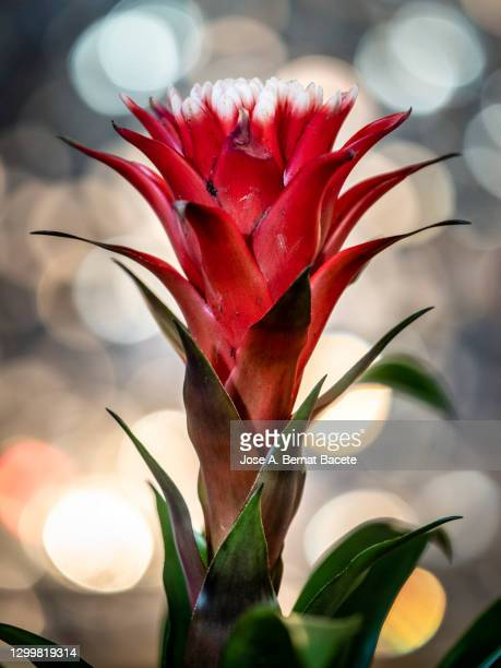 close-up of bromeliad, aechmea fasciata, house plant. - epiphyte stock pictures, royalty-free photos & images