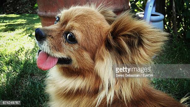 Close-Up Of Brown Chihuahua In Back Yard