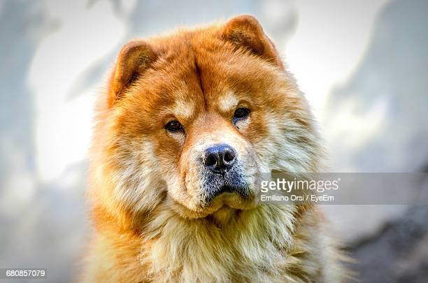 close-up of brown chow - chow stock pictures, royalty-free photos & images