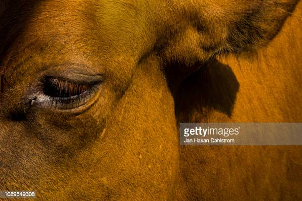 close-up of brown cow - cow eyes stock pictures, royalty-free photos & images