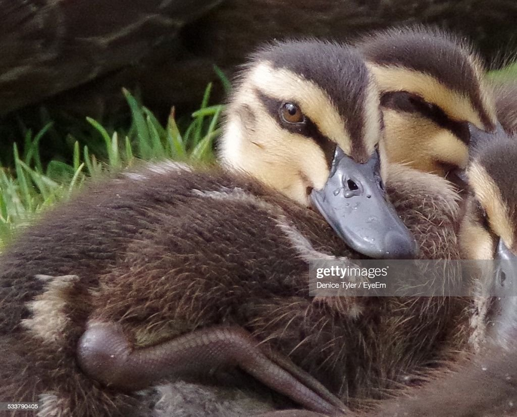 Close-Up Of Brown Ducklings On Grassy Field : Foto stock