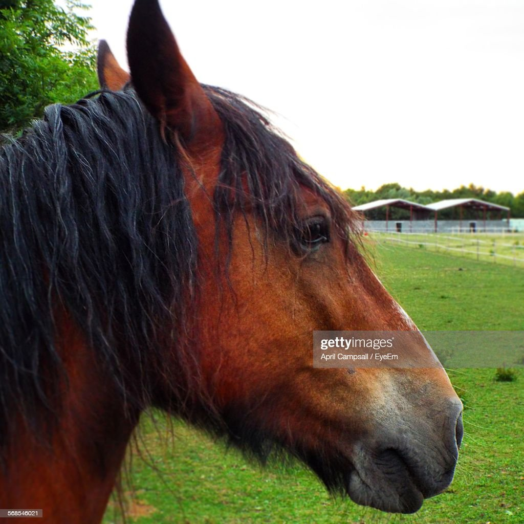 Close-Up Of Brown Horse On Grassy Field Against Clear Sky : Stock Photo