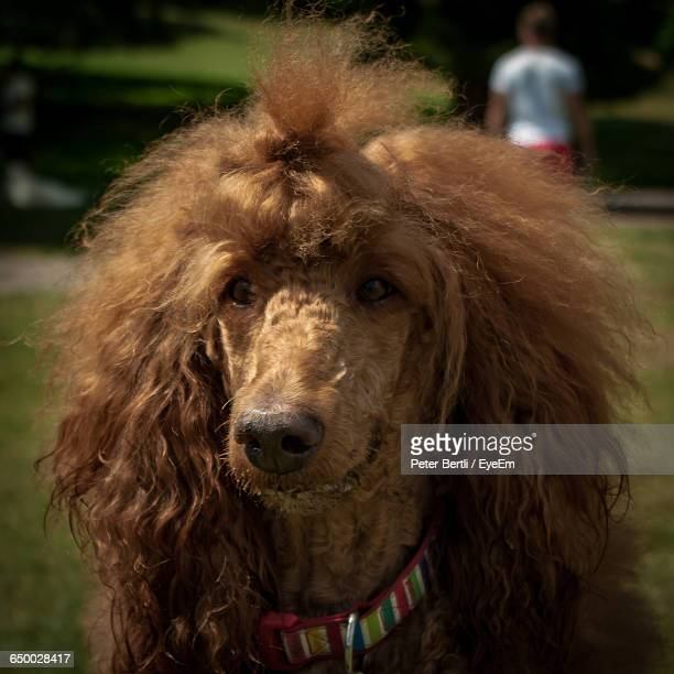Close-Up Of Brown Poodle On Field