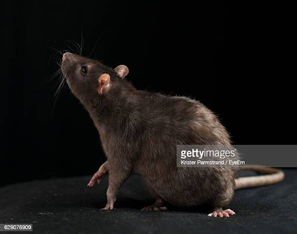 close-up of brown rat against black background - ratazana imagens e fotografias de stock