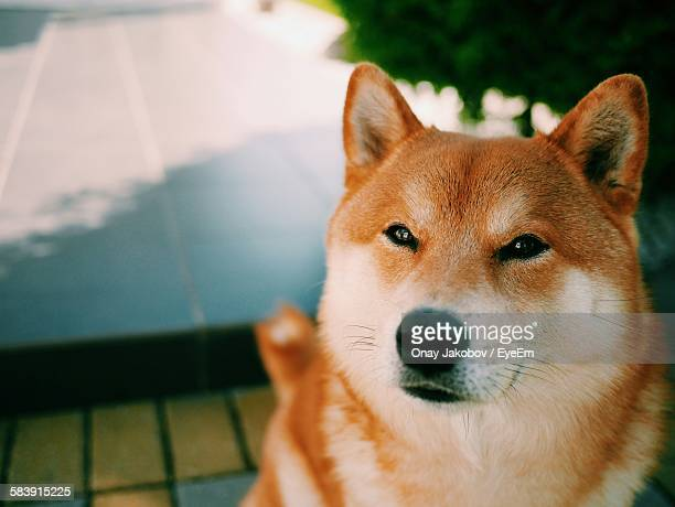 Close-Up Of Brown Shiba Inu