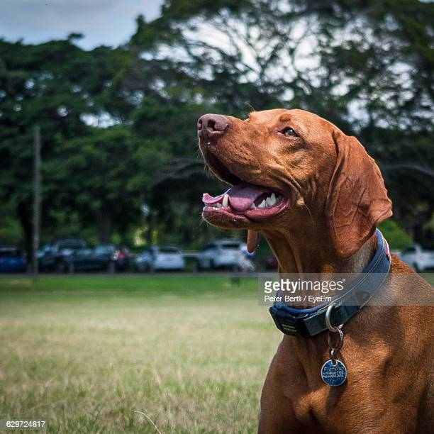 close-up of brown vizsla in centennial park - collar stock pictures, royalty-free photos & images