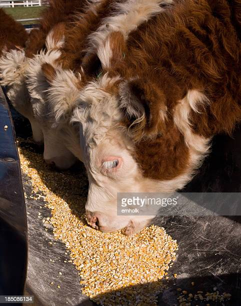 Close-Up of Brown & White Hereford Calves Eating Corn