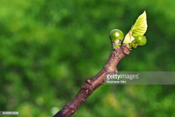 close-up of budding branche of fig tree - bud stock pictures, royalty-free photos & images