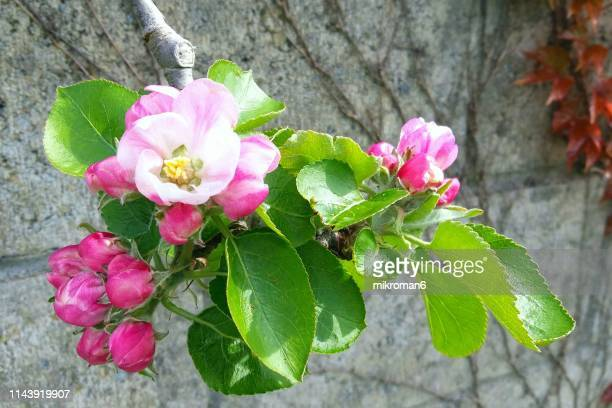 close-up of budding branches of apple tree. first signs of spring - apple blossom stock pictures, royalty-free photos & images