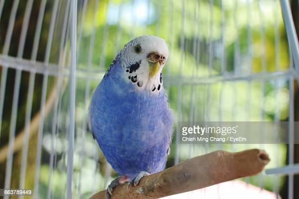 Close-Up Of Budgerigar In Cage