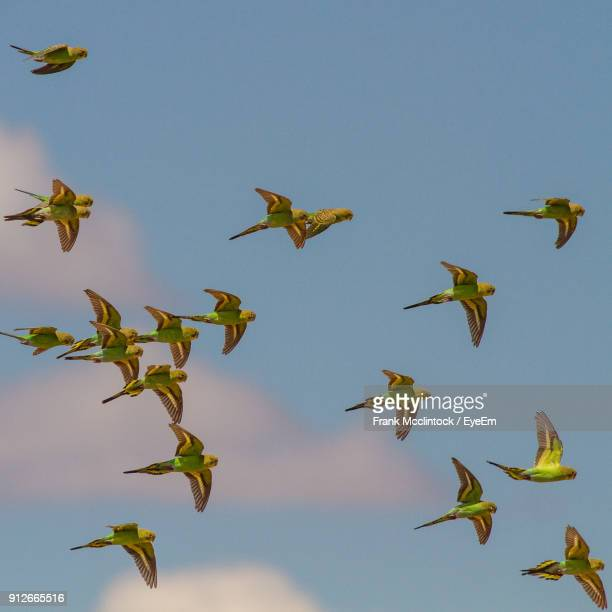 close-up of budgerigars flying against sky - parakeet stock photos and pictures