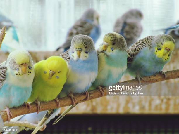 30 Top Parakeet Pictures, Photos and Images - Getty Images