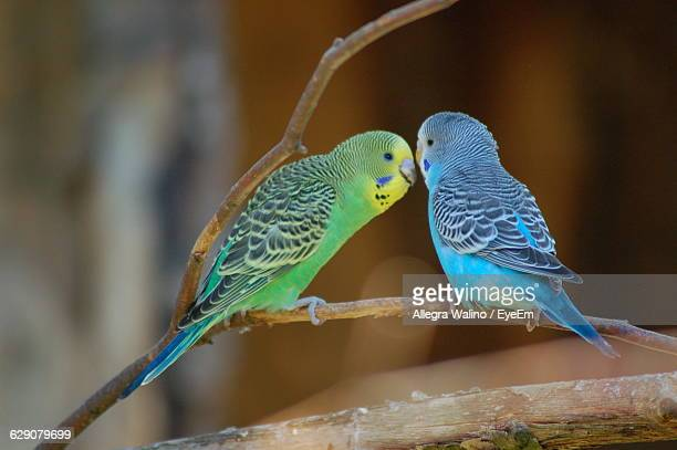 Close-Up Of Budgerigars Perching On Stem