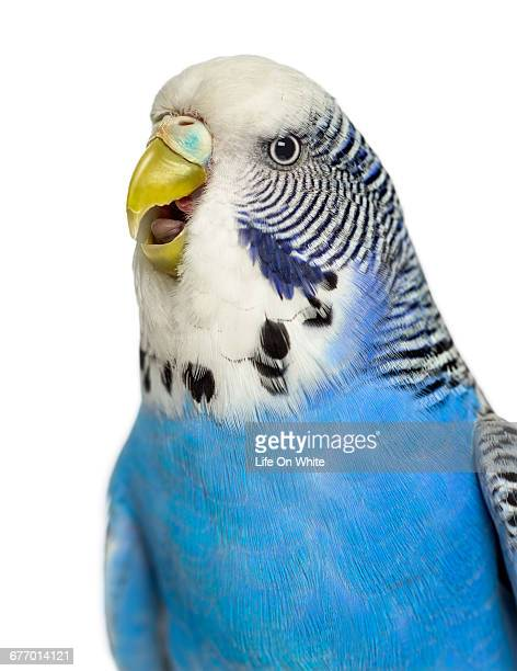 Close-up of Budgie with beak open