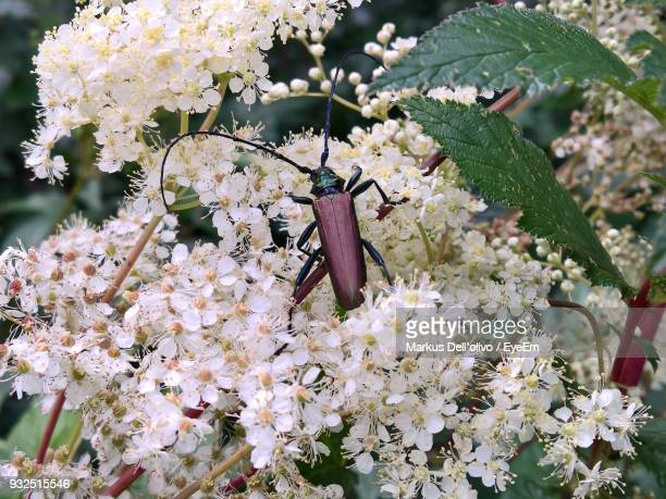 Close-Up Of Bug On White Flowers
