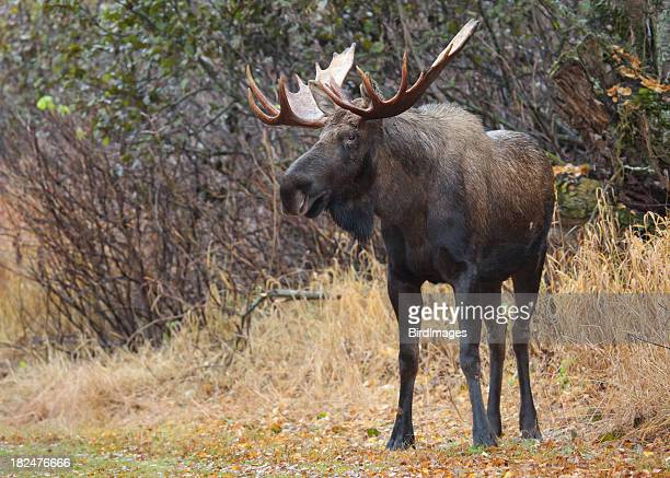 Close-up of bull moose in the wilderness of Alaska