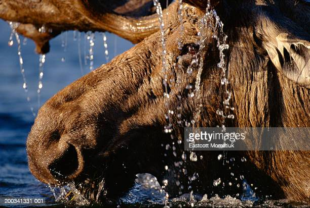 Close-up of bull moose (Alces alces) with water dripping off antlers