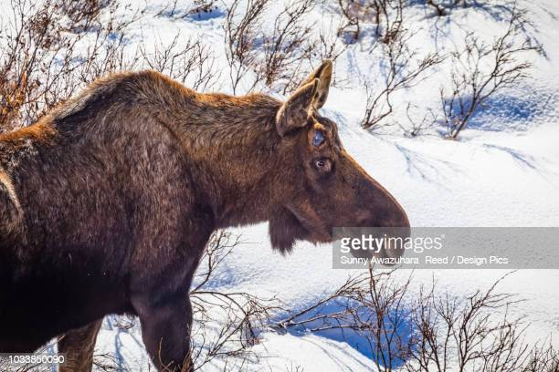 close-up of bull moose (alces alces) without antlers in snow, chugach state park, south-central alaska - chugach state park stock pictures, royalty-free photos & images