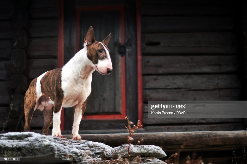 Close-up of bull terrier : Stock Photo