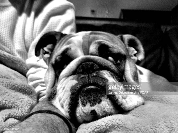 close-up of bulldog - sloppy joe, jr stock-fotos und bilder