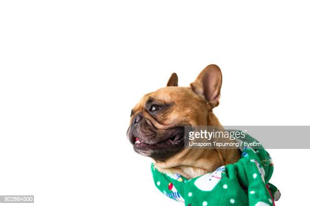 Close-Up Of Bulldog Wearing Scarf Against White Background