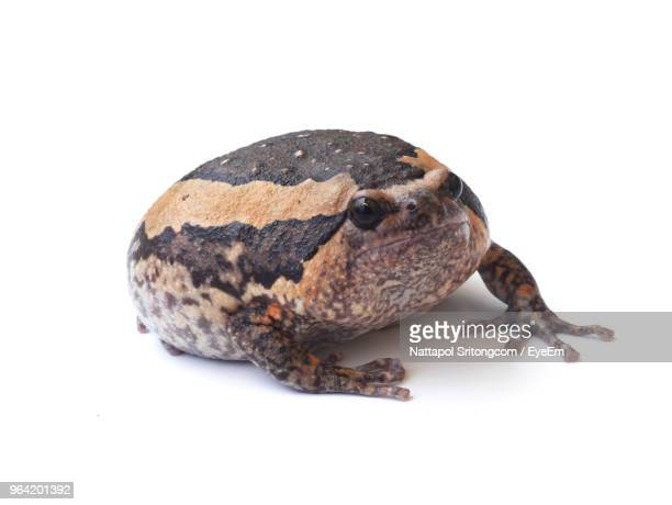close-up of bullfrog against white background - bullfrog stock pictures, royalty-free photos & images