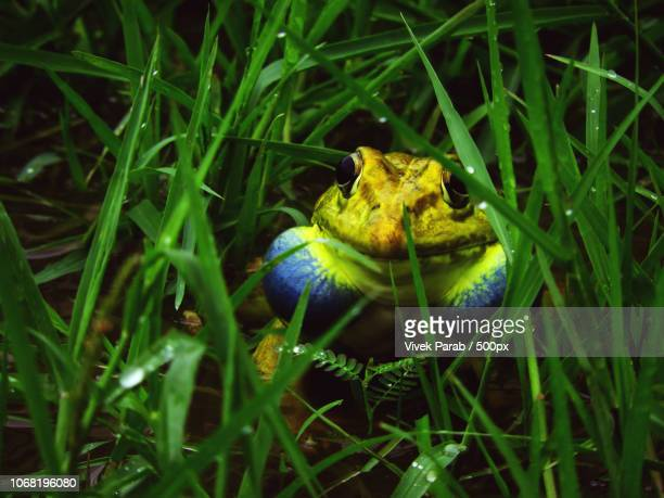 close-up of bullfrog - bullfrog stock pictures, royalty-free photos & images