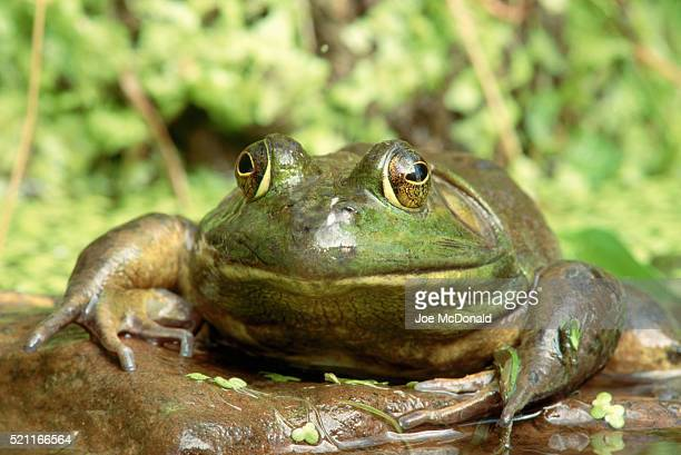 closeup of bullfrog - bullfrog stock pictures, royalty-free photos & images