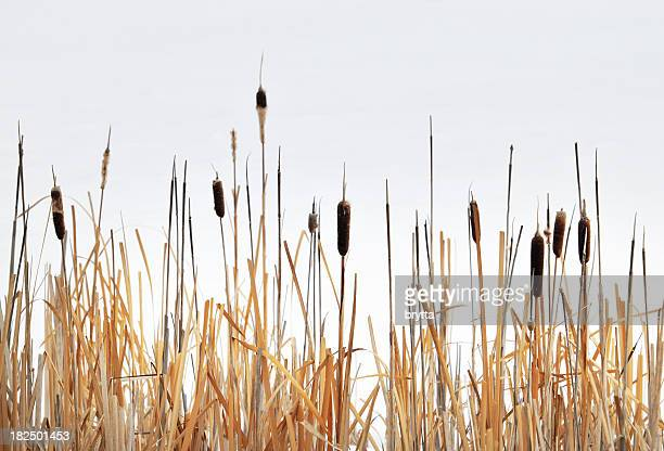Close-up of bullrush against an over cast sky