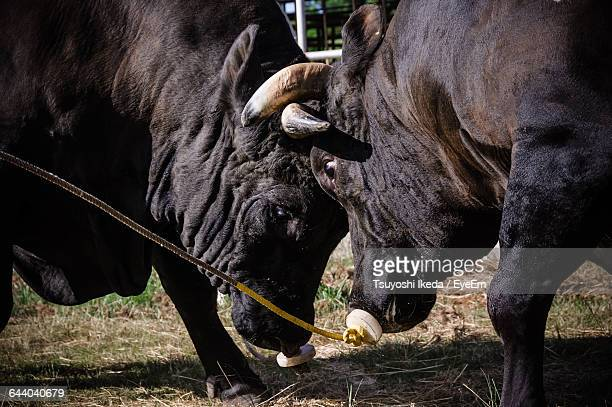 Close-Up Of Bulls Fighting On Field