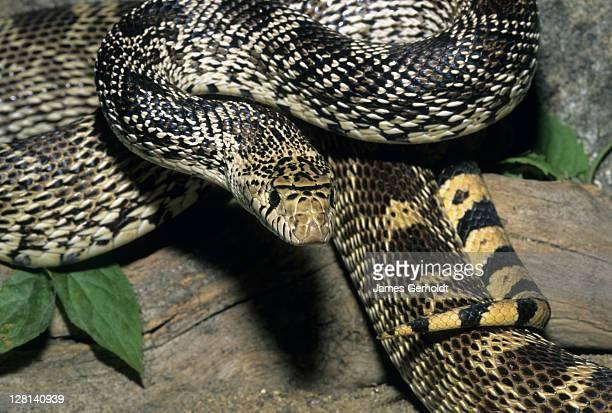closeup of bullsnake, pituophis catenifer sayi, ziebach county, south dakota, usa - bull snake stock pictures, royalty-free photos & images