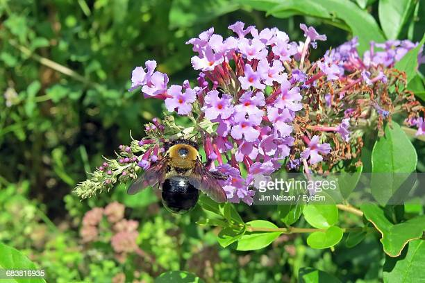 Close-Up Of Bumble Bee On Purple Flowers In Garden