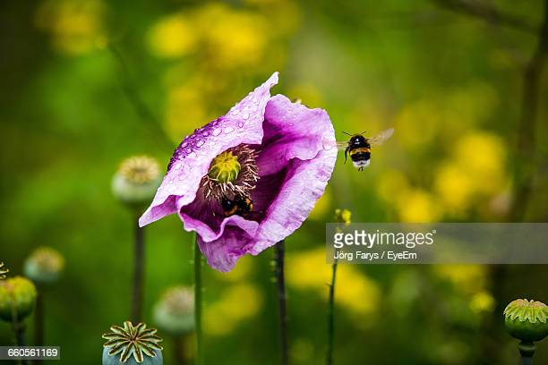 Close-Up Of Bumblebee Flying By Purple Poppy