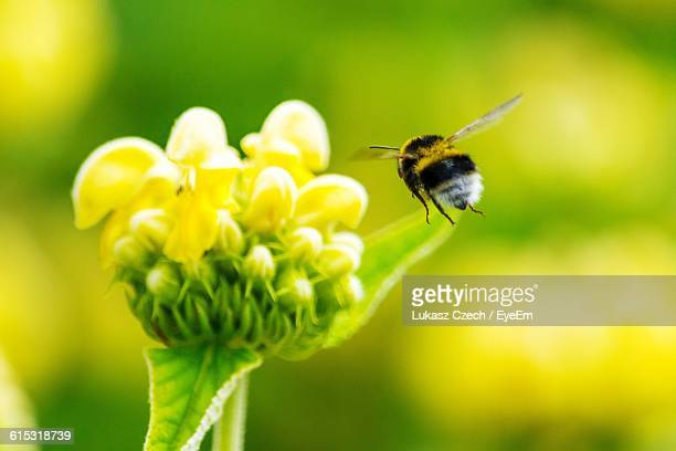 Close-Up Of Bumblebee Flying By Yellow Flower