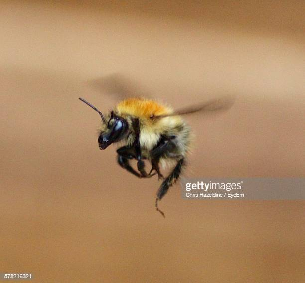 Close-Up Of Bumblebee In Mid-Air
