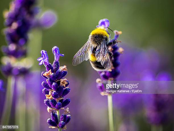 close-up of bumblebee on lavender - calabrone foto e immagini stock
