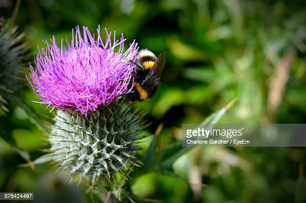Close-Up Of Bumblebee On Purple Thistle Flower